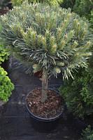 Сосна Sylvestris Watereri C12.5 45 см