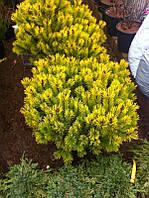 Сосна Mugo Wintergold C11
