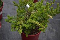 Сосна Banksiana Velda C5