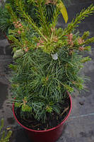 Сосна Parviflora Schoon's Bonsai C11 40/50 см