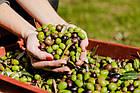 Оливковое масло премиум класса I Preferiti Fruttato Intenso Extra Vergine 1 л., фото 6
