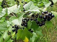 Кусты черной смородины