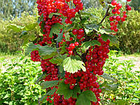Кусты красной смородины, фото 1
