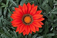 Семена Газания Биг Кисс F1 Ред 100 семян Syngenta