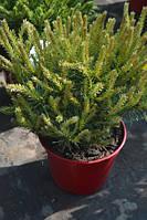 Сосна Sylvestris Martham C11 30/35 см