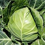 Семена капусты Боликор F1 /  Bolikor F1 , 2500 семян, фото 3