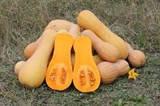 Купить семена тыквы UG 205 F1, 1.000 шт. цена