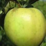 Саженцы яблони Голден резистент