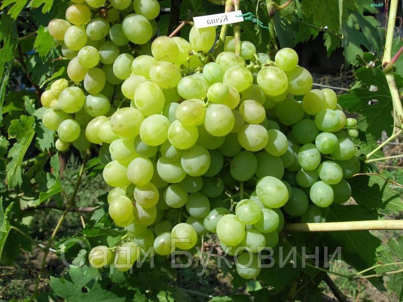 Виноград купить сорта северного винограда
