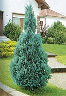 "Кипарисовик"" Lawsoniana Columnaris"" 50+ см"