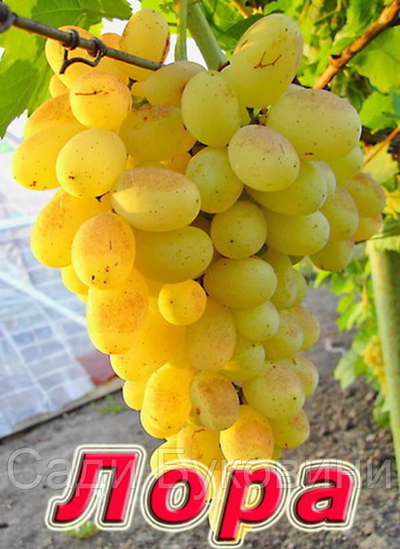 фото виноград лора