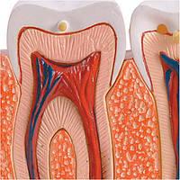 Игровой набор Зубы и десны, Professor EIN-O
