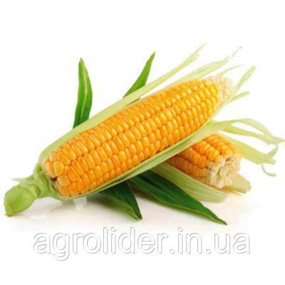 Що потрібно знати про вирощуванні кукурудзи