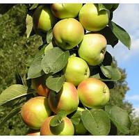 Яблоня колоновидная сорт Патриот (летняя)