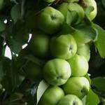 Саженцы яблони Кальвиль Краснокутский