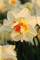 Нарцисс Flower Drift 2 луковицы