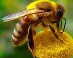 Экстракт-концентрат пчелиного подмора 30 мл