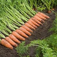 Семена моркови Каскад F1 (1.6-1.8) (100 000с) средняя типа Шантане, фото 1