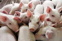 Старт 25% БМВД для свиней от 12 до 30 кг