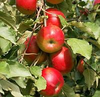 Саженцы яблони колоновидной сорт Останкино (осенняя)