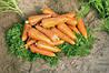 Семена моркови Кантербюри F1 (1.8-2.0) (25000 с) поздняя типа шантане