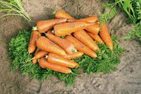 Семена моркови Кантербюри F1 (1.6-1.8) (1000000 с) поздняя типа шантане, фото 1