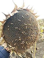 Семена подсолнечника НСХ 1752 под гранстар, Подсолнух Сумо под Экспресс устойчивые к засухе и заразихе  Экстра, фото 1