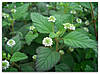 ЛИППИЯ - растительный заменитель сахара (укорененный черенок)