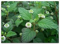 ЛИППИЯ - растительный заменитель сахара (укорененный черенок), фото 1