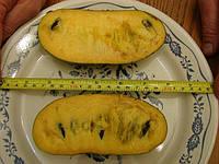 Раритетные семена  азимины  наб №1, фото 1