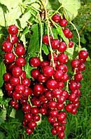 Саженцы красной смородины Львовская сладкая двухлетние