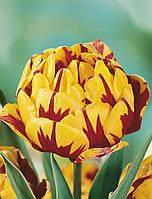 Тюльпан Golden Nizza