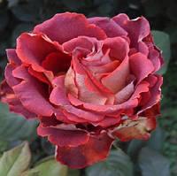Роза  чайно-гибридная Гиннес/ Guinness