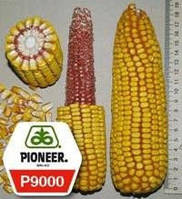 Семена кукурузы Пионер P9000 / П9000 ФАО 310