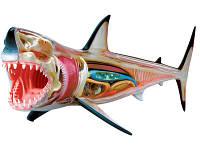 Анатомическая модель Большая белая акула, 4D Master (26111)