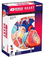 Анатомическая модель Сердце человека, 4D Master (26052)