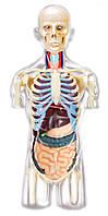 Анатомическая модель Торс человека с органами, 1:6, 4D Master (26068)