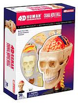 Анатомическая модель Черепно-мозговая коробка человека, 4D Master (26053)