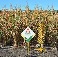 ДМС Гроно (ФАО 260) среднеранний гибрид кукурузы зернового типа для Лесостепи и Полесья