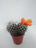 Кактус (оранжевий) ОРА АГРО-ЕКО, фото 1