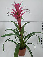 Гузманія GEM (12/55) (рожевий) ОРА АГРО-ЕКО, фото 1