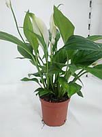 Спатефіліум Pearl cupido (7/19) ОРА АГРО-ЕКО, фото 1