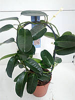 Стефанотіс floribunda (12/45) ОРА АГРО-ЕКО, фото 1