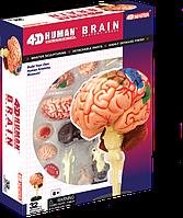 Объемная анатомическая модель 4D Master Мозг человека (26056)
