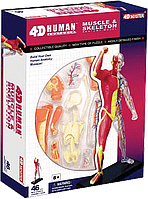 Объемная анатомическая модель 4D Master Мускулы и скелет человека (26058)