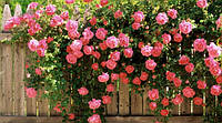 Роза плетущая розовая