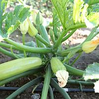 Семена кабачка  Аделия F1 (E28T00358 F1) 500 сем. Enza Zaden