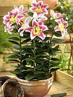 Лилия горшечная (карликовая) Angeliqua