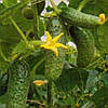 ГАЙДН F1 - семена огурца партенокарпического, 1 000 семян, Rijk Zwaan