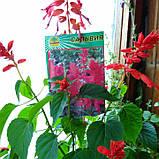 Сальвия красная, фото 2